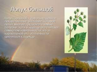 Лопух большой Лопух большой - довольно ценное лекарственное растение, которое