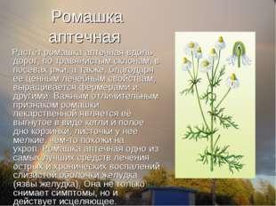 Ромашка аптечная Растёт ромашка аптечная вдоль дорог, по травянистым склонам,
