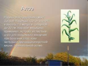 Алоэ Родина этого растения - мыс Доброй Надежды, где он растет в высоту 2-3 м