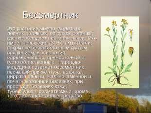 Бессмертник Это растение можно увидеть на лесных полянках, по сухим склонам,