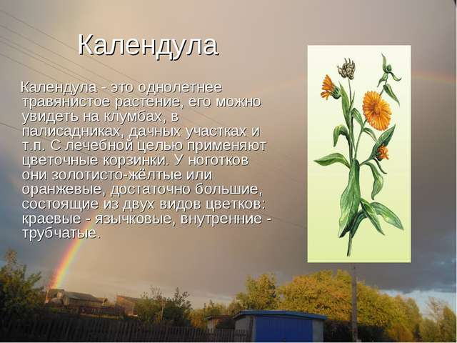 Календула Календула - это однолетнее травянистое растение, его можно увидеть...