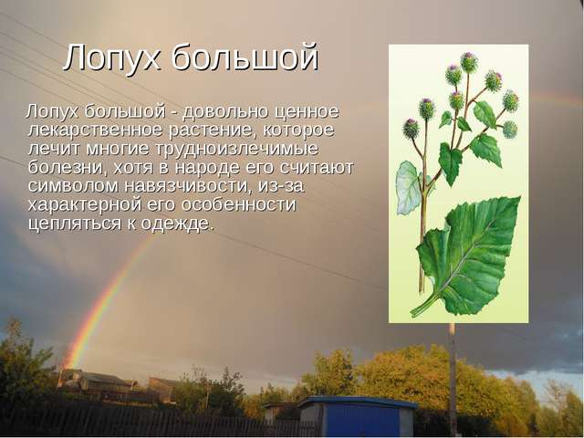 Лопух большой Лопух большой - довольно ценное лекарственное растение, которое...