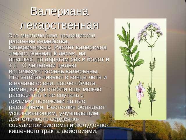 Валериана лекарственная Это многолетнее травянистое растение семейства валери...
