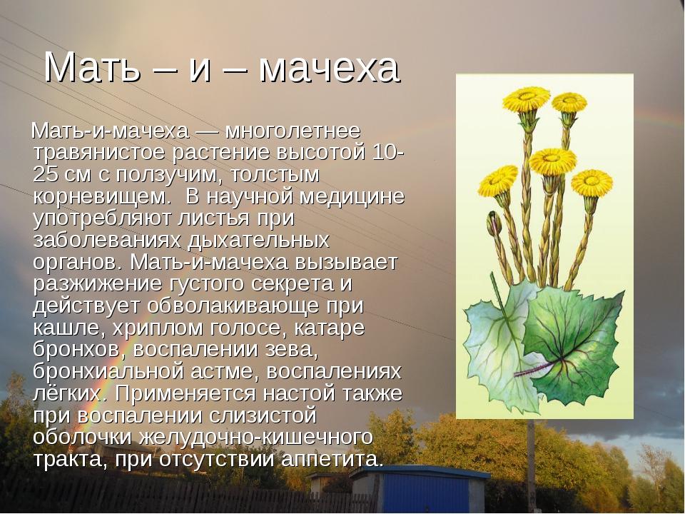Мать – и – мачеха Мать-и-мачеха — многолетнее травянистое растение высотой 10...