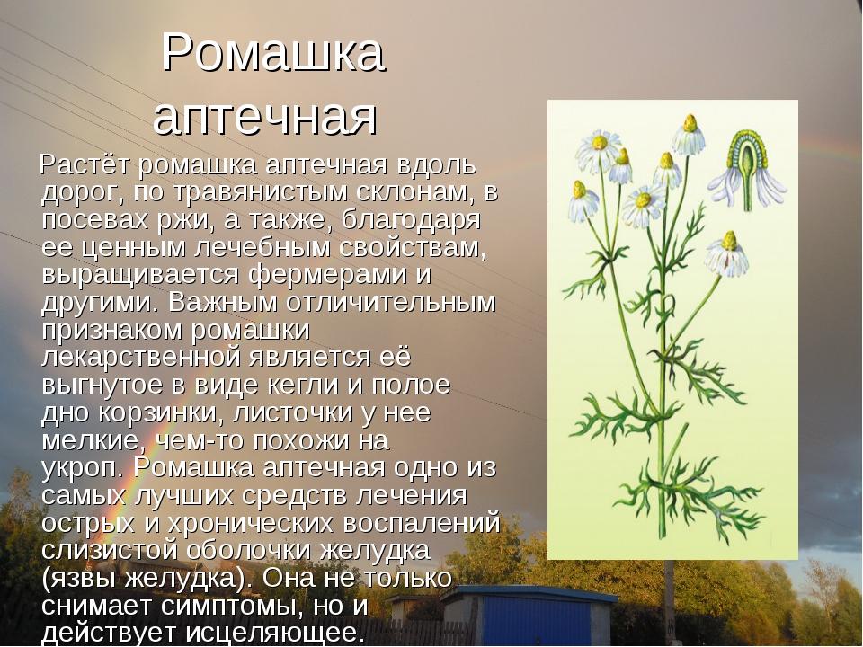Ромашка аптечная Растёт ромашка аптечная вдоль дорог, по травянистым склонам,...