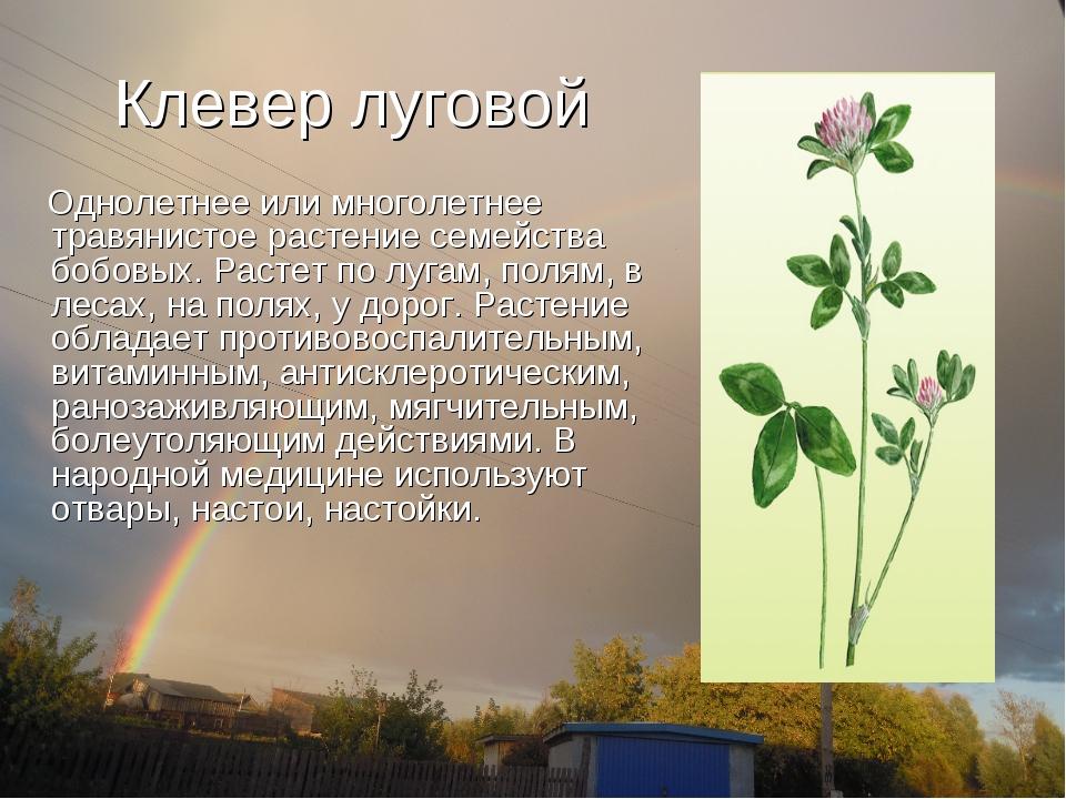 Клевер луговой Однолетнее или многолетнее травянистое растение семейства бобо...