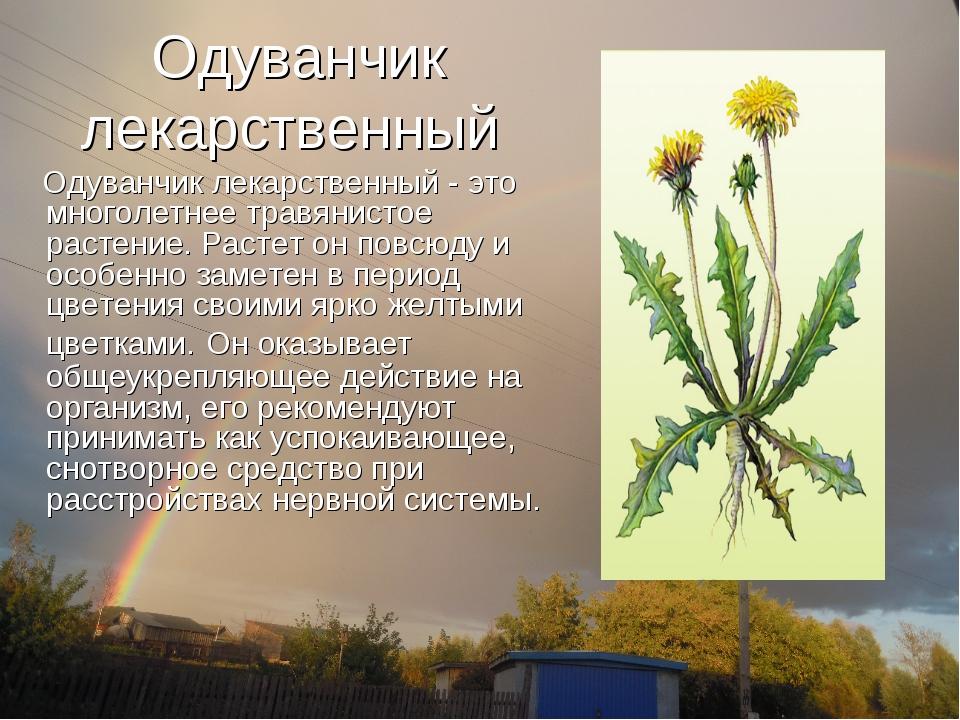 Одуванчик лекарственный Одуванчик лекарственный- это многолетнее травянистое...