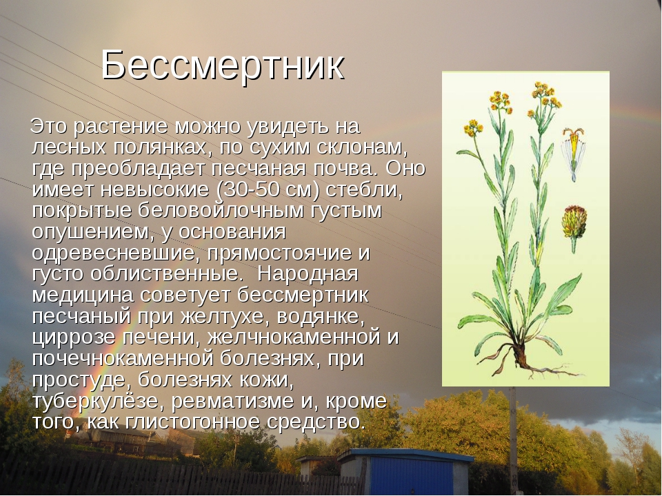 Бессмертник Это растение можно увидеть на лесных полянках, по сухим склонам,...