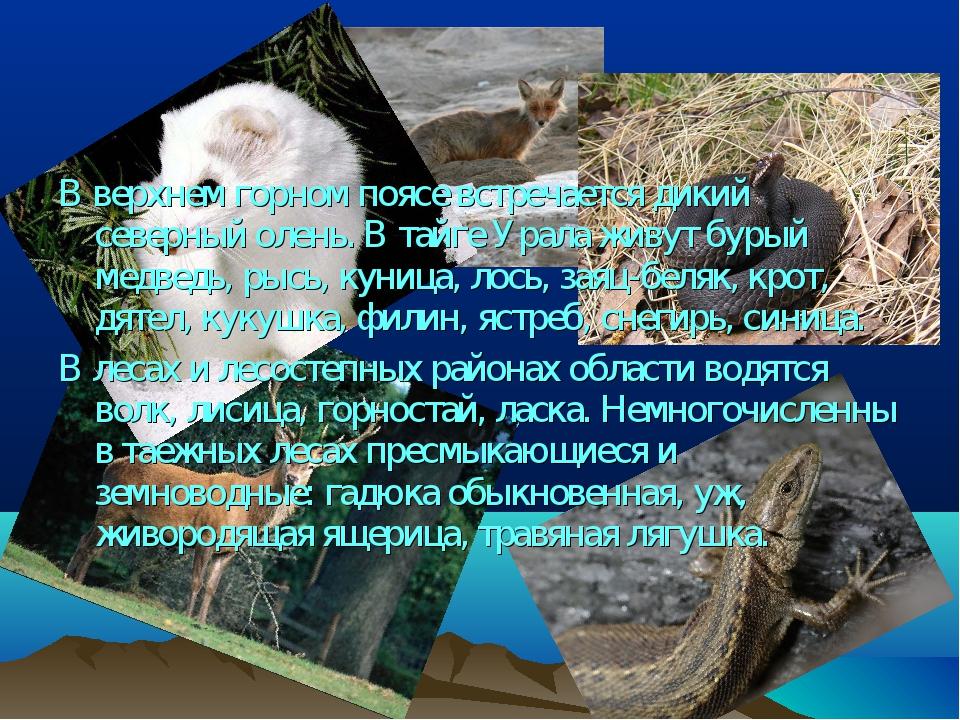 В верхнем горном поясе встречается дикий северный олень. В тайге Урала живут...
