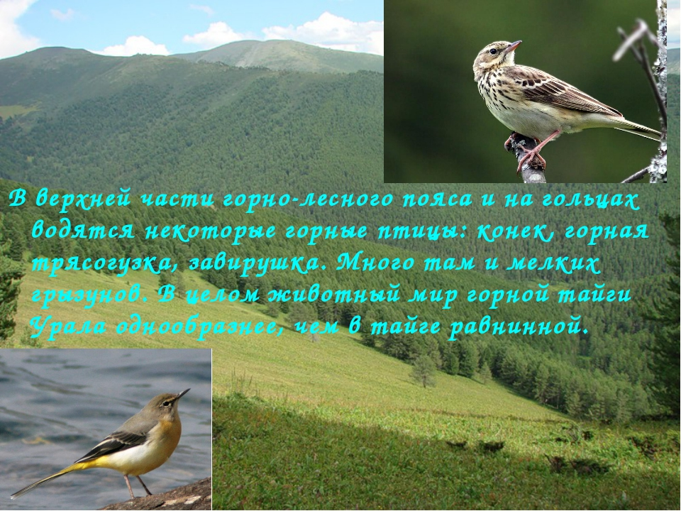 В верхней части горно-лесного пояса и на гольцах водятся некоторые горные пти...