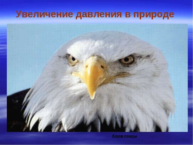 Увеличение давления в природе Клюв птицы