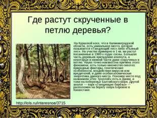 Где растут скрученные в петлю деревья? На Куршской косе, что в Калининградско