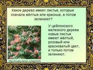 Какое дерево имеет листья, которые сначала жёлтые или красные, а потом зелене