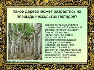 Какое дерево может разрастись на площадь нескольких гектаров? Дерево бенгальс