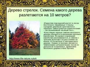 Дерево стрелок. Семена какого дерева разлетаются на 10 метров? Парротии перси