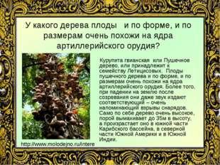 У какого дерева плоды и по форме, и по размерам очень похожи на ядра артиллер