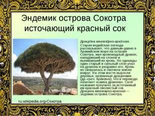 Эндемик острова Сокотра источающий красный сок Драце́на кинова́рно-кра́сная.