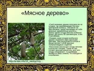 «Мясное дерево» Своё название дерево получило из-за плодов, так напоминающих
