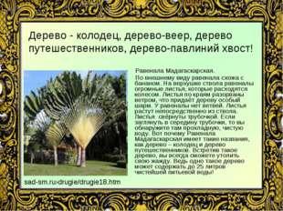 Дерево - колодец, дерево-веер, дерево путешественников, дерево-павлиний хвост