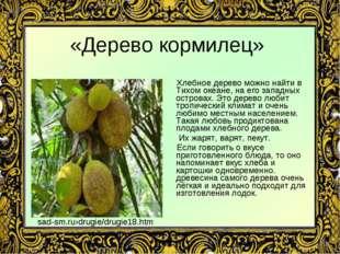 «Дерево кормилец» Хлебное дерево можно найти в Тихом океане, на его западных