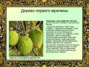 Дерево первого мужчины Маклюра, или Адамово яблоко, растёт на юге России, в ч