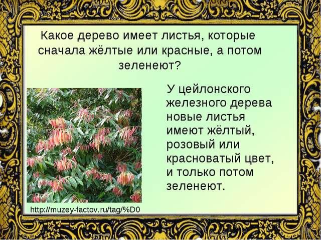 Какое дерево имеет листья, которые сначала жёлтые или красные, а потом зелене...
