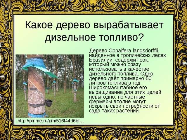 Какое дерево вырабатывает дизельное топливо? Дерево Copaifera langsdorffii, н...