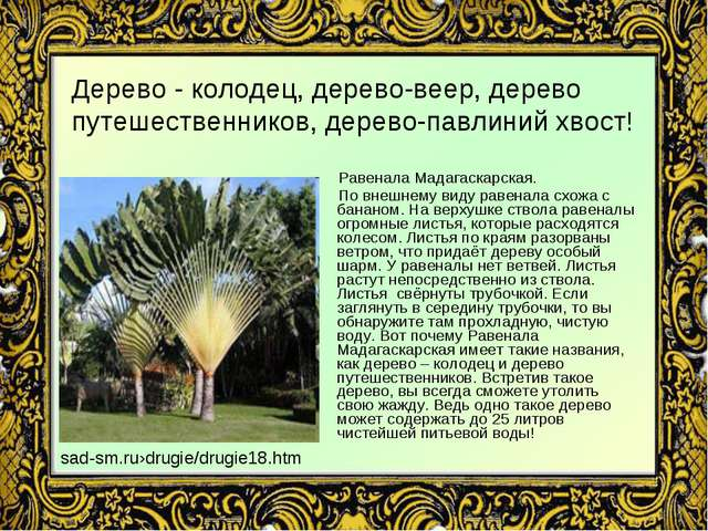 Дерево - колодец, дерево-веер, дерево путешественников, дерево-павлиний хвост...