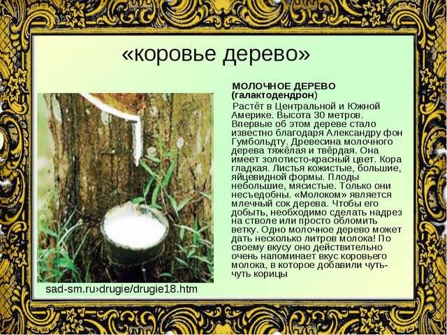 «коровье дерево» МОЛОЧНОЕ ДЕРЕВО (галактодендрон) Растёт в Центральной и Южно...