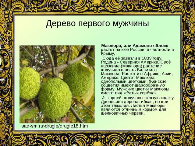 Дерево первого мужчины Маклюра, или Адамово яблоко, растёт на юге России, в ч...