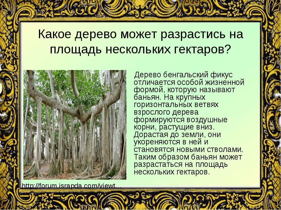 Какое дерево может разрастись на площадь нескольких гектаров? Дерево бенгальс...