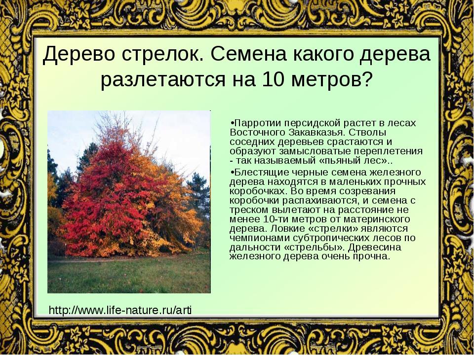 Дерево стрелок. Семена какого дерева разлетаются на 10 метров? Парротии перси...