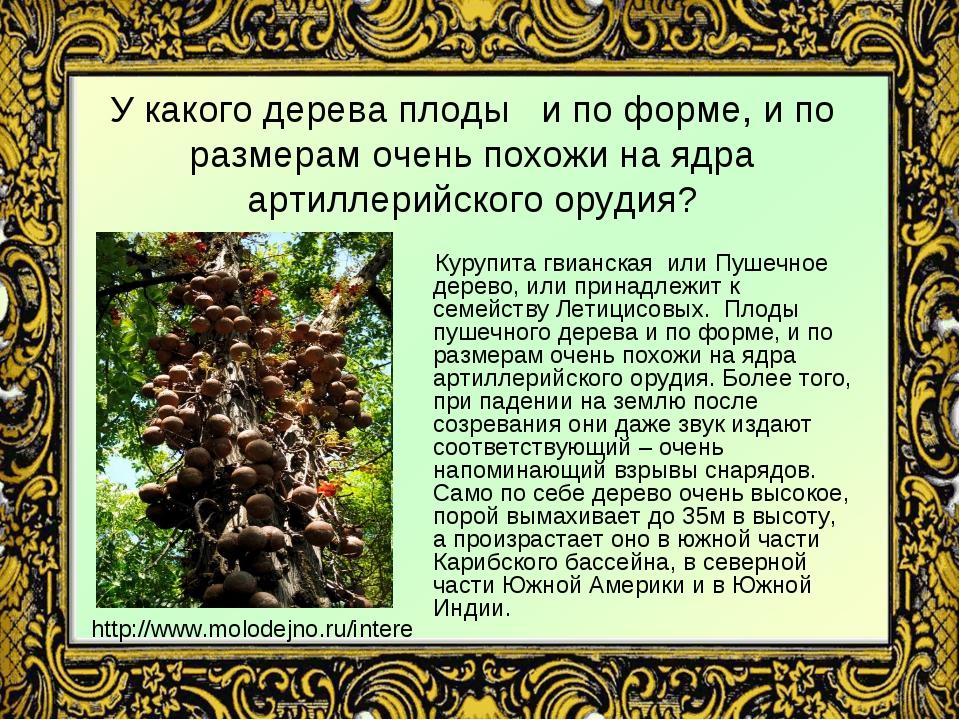У какого дерева плоды и по форме, и по размерам очень похожи на ядра артиллер...