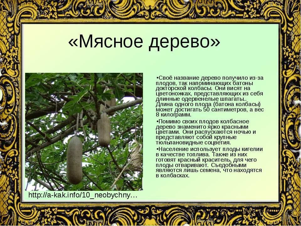«Мясное дерево» Своё название дерево получило из-за плодов, так напоминающих...