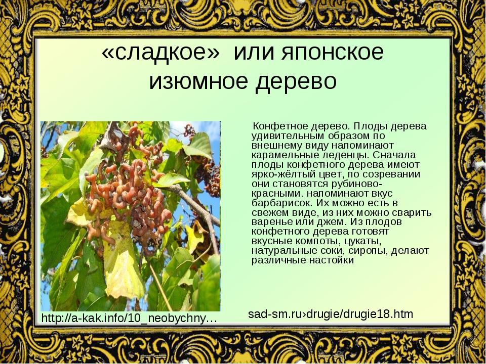 «сладкое» или японское изюмное дерево Конфетное дерево. Плоды дерева удивител...