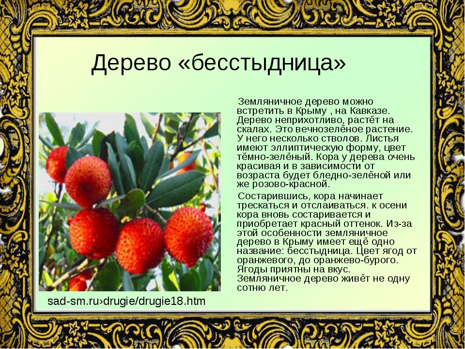 Дерево «бесстыдница» Земляничное дерево можно встретить в Крыму , на Кавказе....