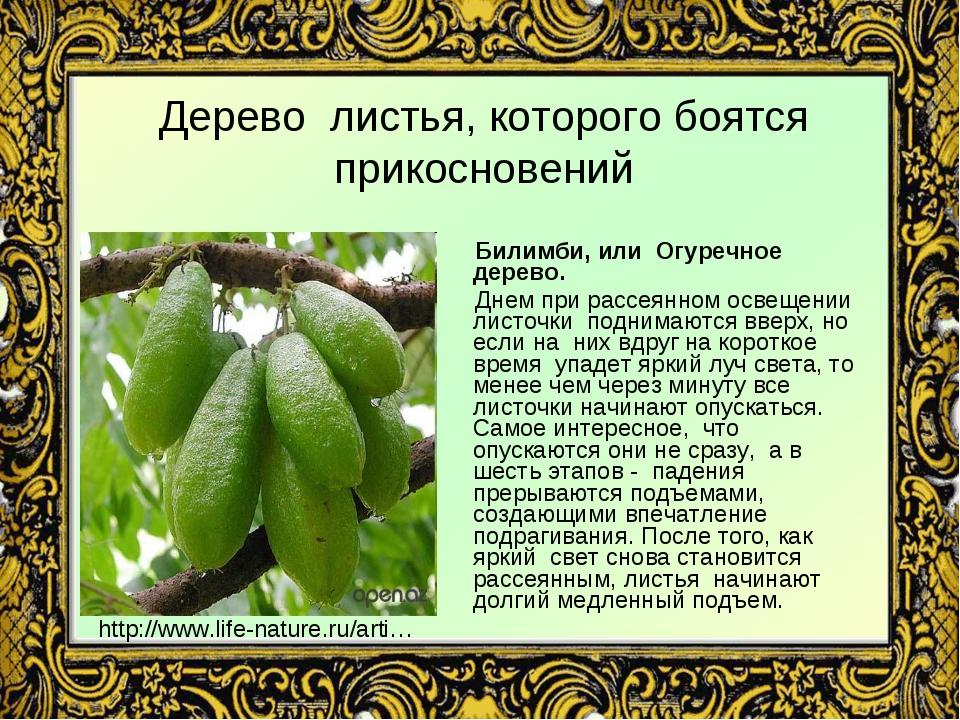 Дерево листья, которого боятся прикосновений Билимби, или Огуречное дерево. Д...