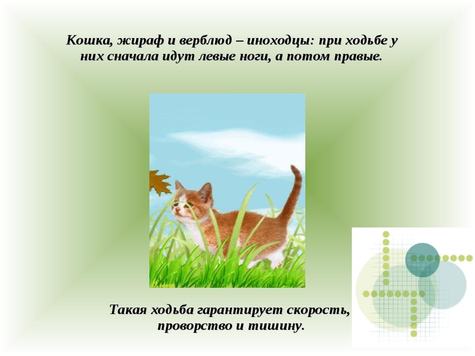 Кошка, жираф и верблюд – иноходцы: при ходьбе у них сначала идут левые ноги,...