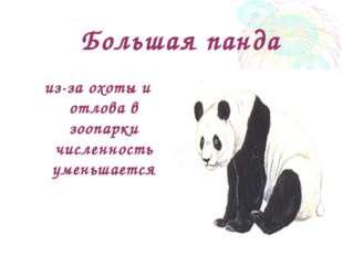 Большая панда из-за охоты и отлова в зоопарки численность уменьшается