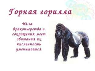 Горная горилла Из-за браконьерства и сокращения мест обитания их численность