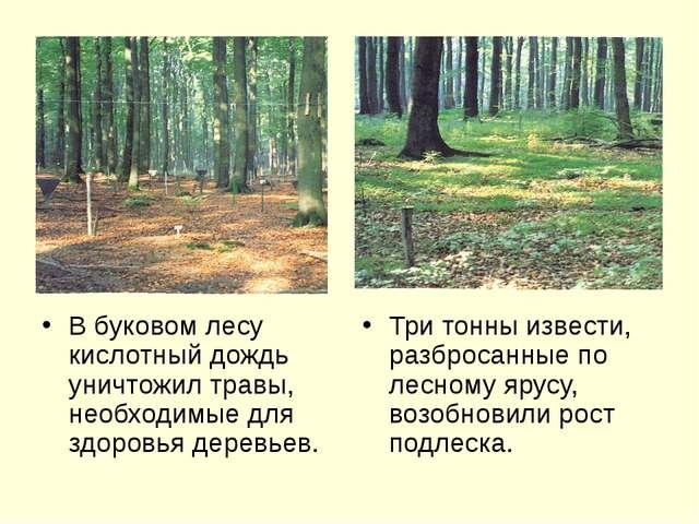 В буковом лесу кислотный дождь уничтожил травы, необходимые для здоровья дер...
