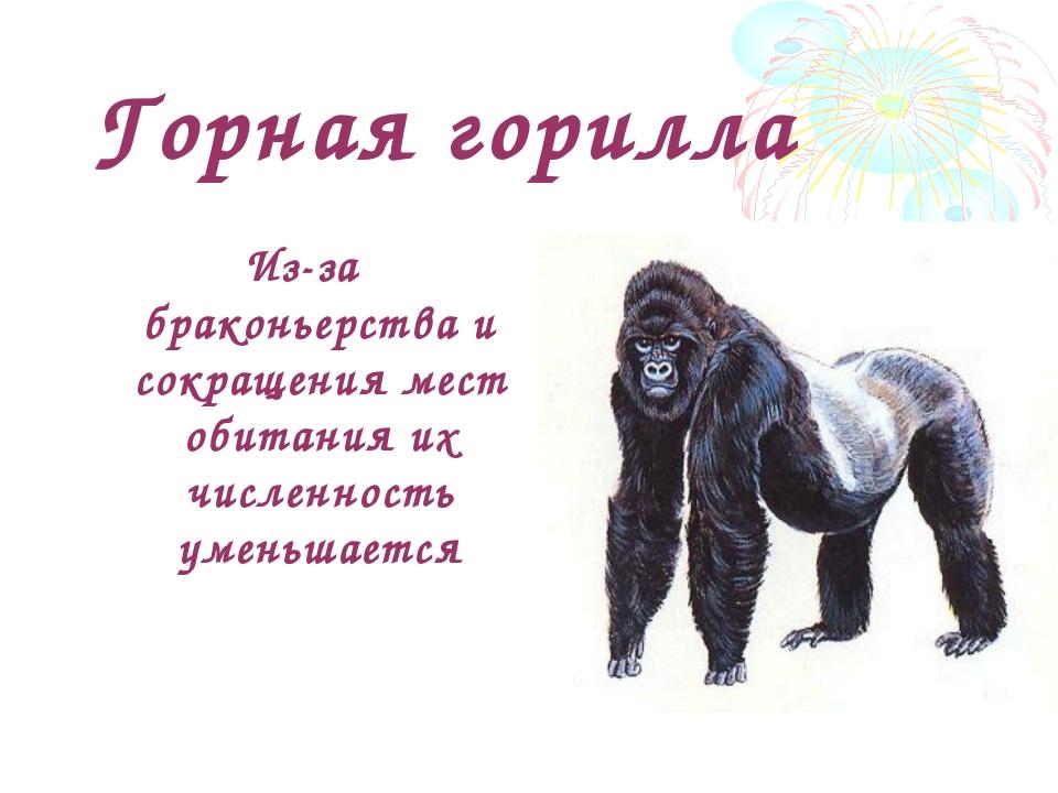 Горная горилла Из-за браконьерства и сокращения мест обитания их численность...