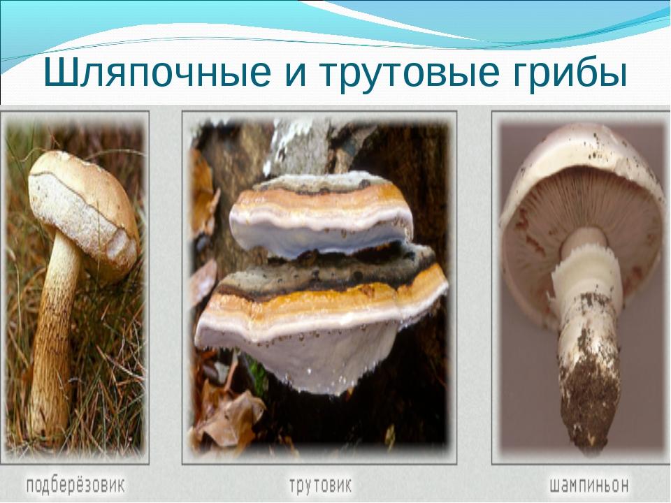 Шляпочные и трутовые грибы