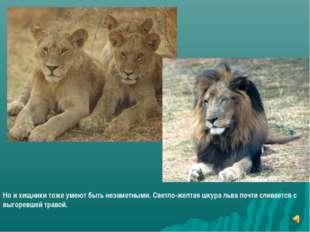 Но и хищники тоже умеют быть незаметными. Светло-желтая шкура льва почти слив
