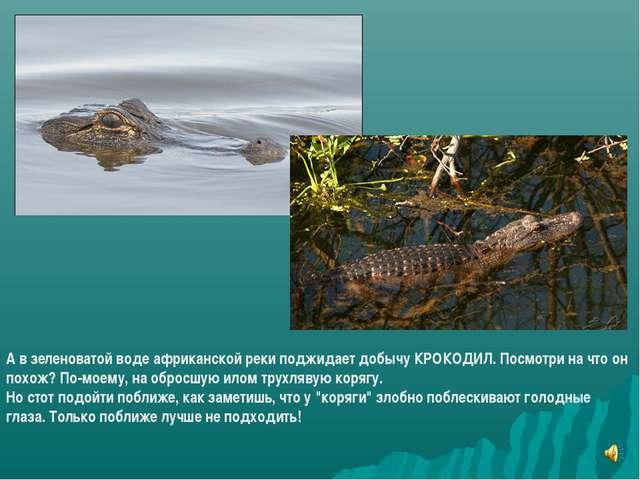 А в зеленоватой воде африканской реки поджидает добычу КРОКОДИЛ. Посмотри на...