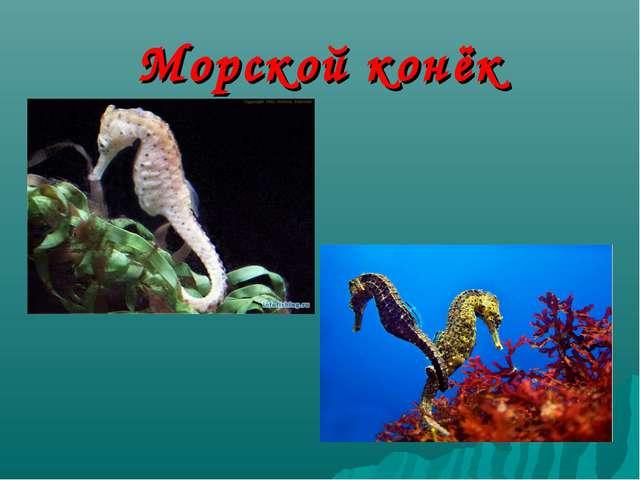 Морской конёк