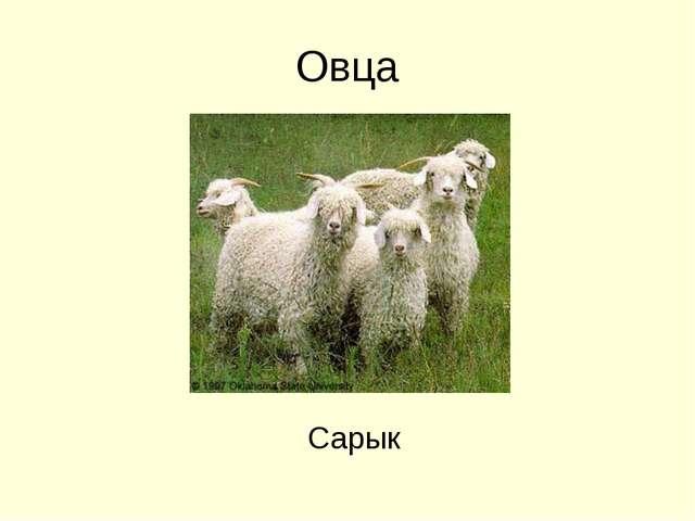 Овца Сарык