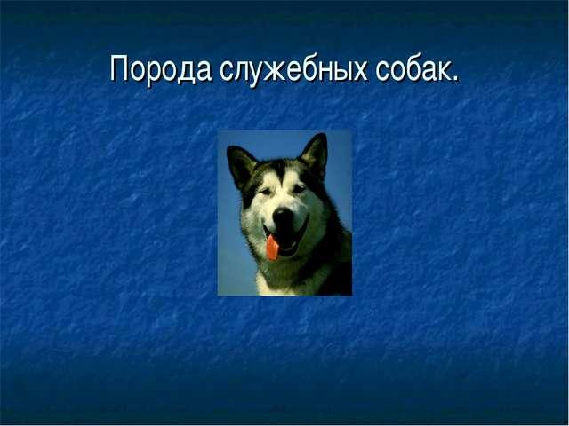 Порода служебных собак.