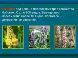 ЛЮПИН, род одно- и многолетних трав семейства бобовых. Около 100 видов. Выращ