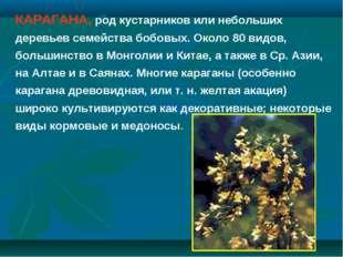 КАРАГАНА, род кустарников или небольших деревьев семейства бобовых. Около 80